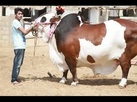 Beautiful and biggest cow Qurbani | Eid Ul Adha 2016 Pakistan - YouTube