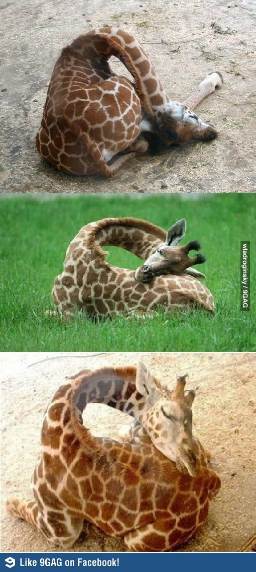 How giraffes sleep. That does not look comfy at all! Someone needs to invent a special giraffe pillow.