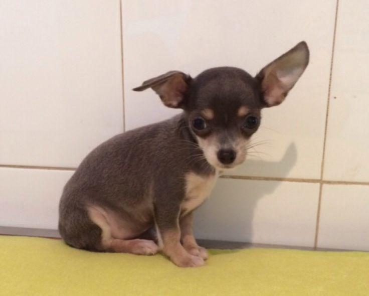 Chihuahua blu focato femmina