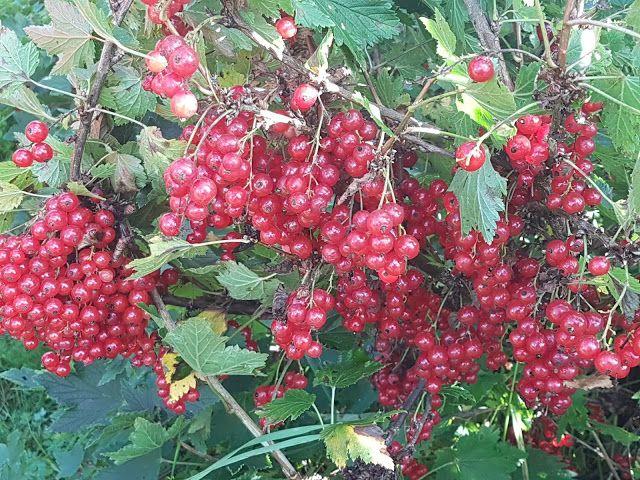 Takalo-Roppolan puutarha- ja mansikkatila: MARJA-MAIJOJEN KOKOONTUMISAJOT