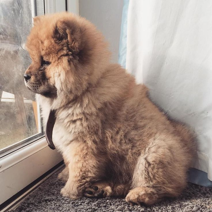 Best Chow Chow Ideas On Pinterest Chow Chow Dogs Chow Chow - This instagram chow chow looks like a fluffy potato and its so cute it doesnt even look real