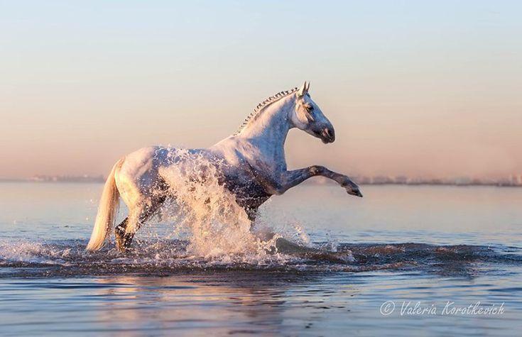 The Stylish Gypsy (orlovtrotter:   Stallion Pobeditel' (The Winner) ...)