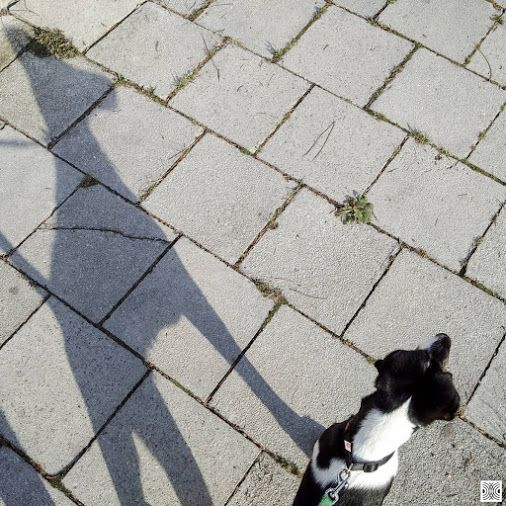 8.9.2016 - day 105  - I am looking nice, my shadows looking nice, what a team!  Blackberry Passport  www.pavelvrzala.com  #SmoothFoxTerrier #puppy #little #dog #street #sidewalk #pavement #shadow #morning #Blackberry #Passport