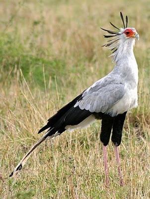 A Big Bad African Bird