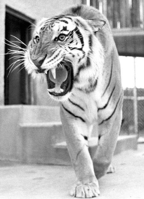 LSU Tigers mascot Mike IV, 1990. Mike IV reigned for 14 years until April 1990 when he developed a neurologic problem that resulted in mild lameness. Due to health concerns, the tiger was retired to the Baton Rouge Zoo where he lived until his death in 1995 at the age of 21, the oldest of the tigers serving as LSU's mascot. Mike IV was cremated, and his ashes are located in the Andonie Museum next to the LSU Alumni Association on LSU's campus.