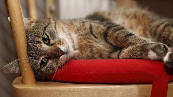 Europäisch Kurzhaar: beliebteste Katze der Deutschen