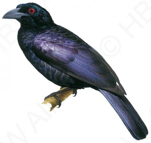 Mejores 77 imágenes de Paradisaeidae birds of paradise en Pinterest ...