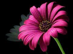 Daisy, Pollen, Flower, Nature, Flora