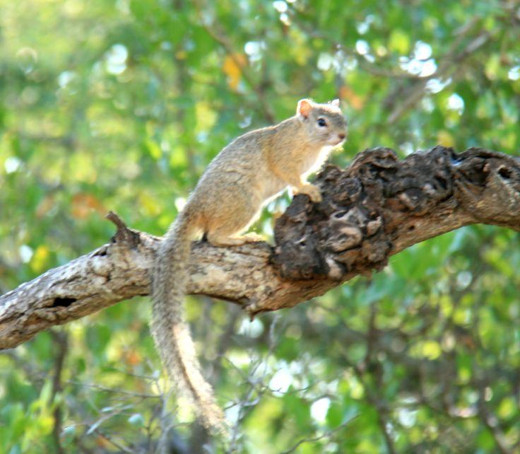 squirrel | Zandspruit Estate | Hoedspruit | South Africa