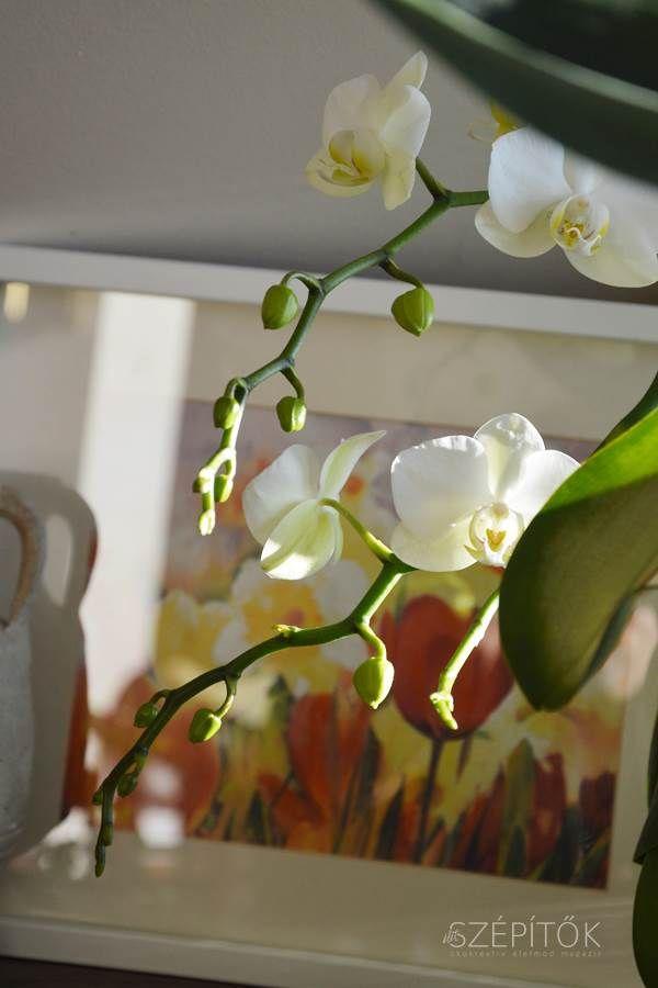 Orchidea szépségversenyt hirdettünk Facebook oldalunkon, rengeteg gyönyörű virágról kaptunk képeket Olvasóinktól (a fotókat ITT lehet látni). Többen írták, hogy náluk nem maradnak sokáig szépek, elvirágzás után nem hoznak bimbót ezek a csodálatos, egzotikus növények. Összefoglaljuk az orchidea gondozásával kapcsolatos főbb tudnivalókat, személyes tapasztalatainkat is beleszőve. Az orchideákról sokan gondolják úgy, hogy kényes, nehezen nevelhető növények, ez azonban csak részben igaz. Számos…