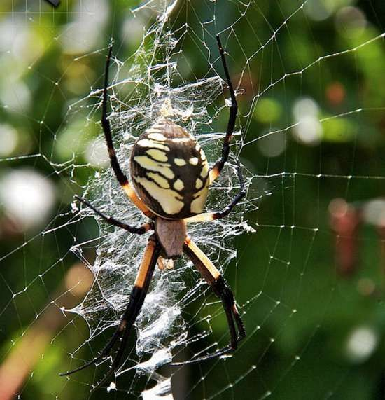 Common North American Spider Identification Database | There are many species of spiders in the US that are easy to identify. Some species of spiders are harmless and many others are poisonous.