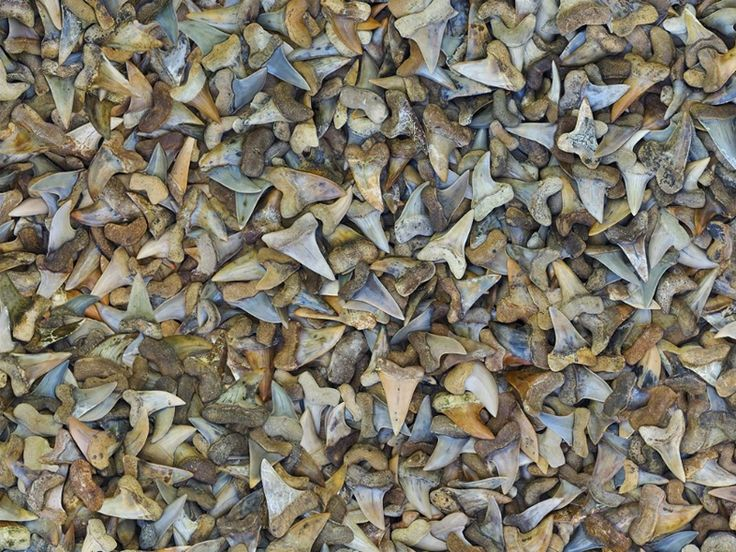 Depicts 270,000 fossilized shark teeth, equal to the estimated number of sharks of all species killed around the world every day for their fins.