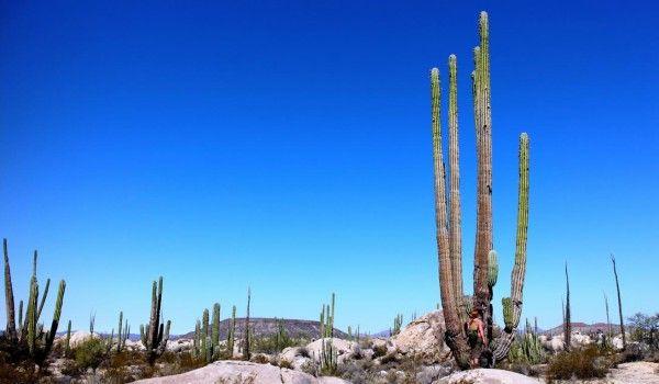 In der Cataviña Wüste in Baja California, Mexiko (nicht USA) habt ihr die Möglichkeit viele Kakteen Arten zu sehen, von einigen sind sogar die Früchte essbar. Wie sie schmecken könnt ihr in Melanies Blogbeitrag lesen. #Mexiko #Kaktus #erlebeFernreisen #Blog
