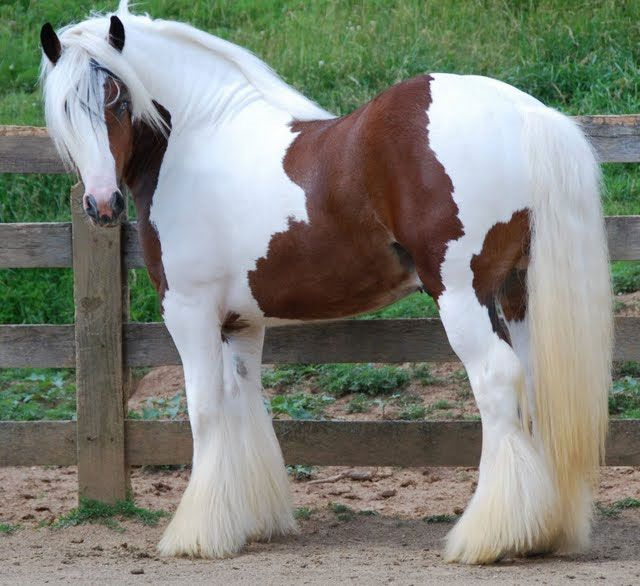 I'm not a big draft lover, but if I were to get one, a Gypsy would be it! Adorable little white boots on :)