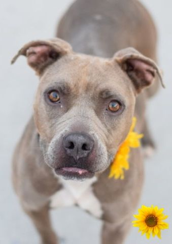 SAFE❤️❤️ 10/5/16 BY READY FOR RESCUE❤️ THANK YOU❤️❤️ RETURN 09/11/16 NO TIME --- SAFE 4/23/14 BROOKLYN CENTER TINA - A0996740 FEMALE, BLUE, PIT BULL MIX, 5 mos STRAY - STRAY WAIT, NO HOLD Reason STRAY Intake condition NONE Intake Date 04/15/2014 http://nycdogs.urgentpodr.org/tina-a0996740/