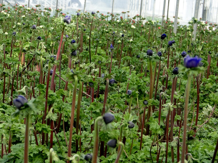 Anemoon    Young plants by www.combinations.eu