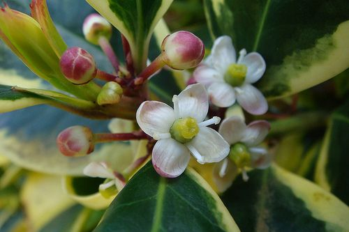 holly flower | Holly Flower Pictures