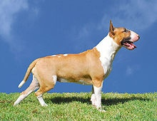 English Bull Terrier - some love em some hate em.  I personally love the look of em!