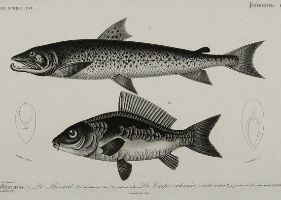 1849 Antique print of GAME FISHES: SALMON, Common Carp. Sea Life. 165 years old gorgeous lithograph