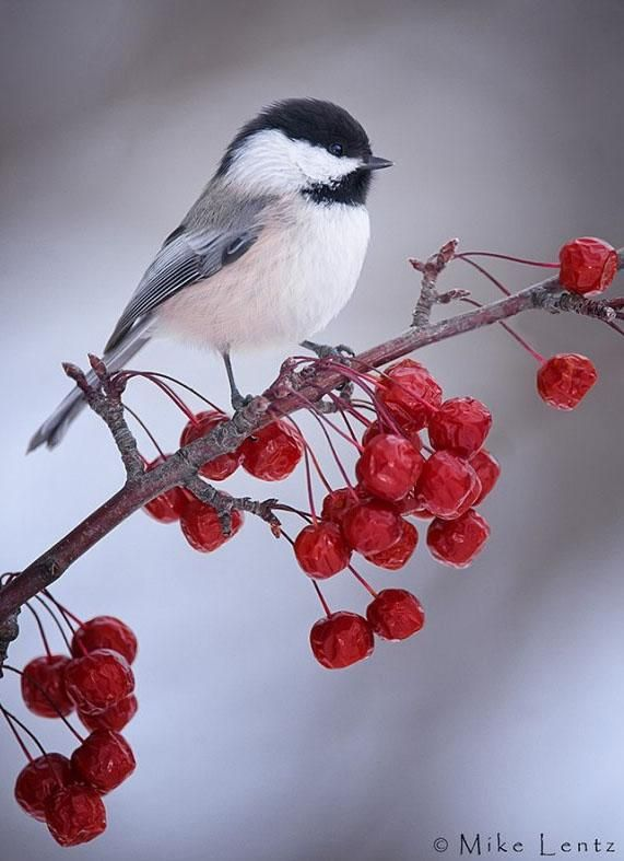 A Black Capped Chickadee. These birds stay in Canada over the winter, and are often seen hiding under the snowy branches of Pine and Spruce Trees; their diet consists of berries.