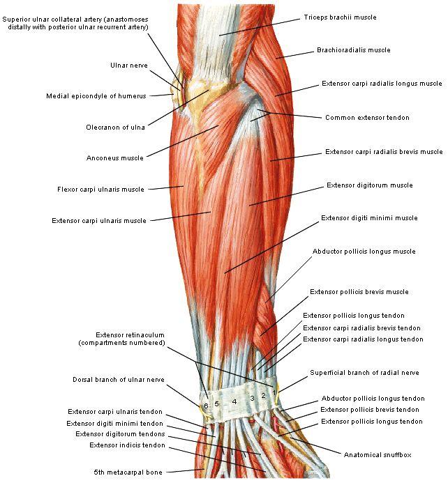 Spieren Arm Hand Google Zoeken Spieren