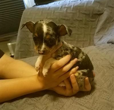 Beautiful female blue merle Chihuahua, looking for her furever home!