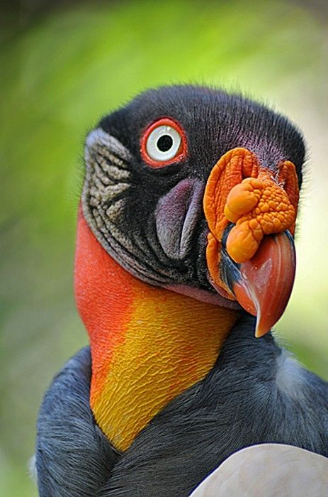 King Vulture by victoriaPeter Vans, Birds Of Paradis, Vans Zoest, South America, Vibrant Colors, Beautiful Birds, King Vulture, Animal, Feathers Friends