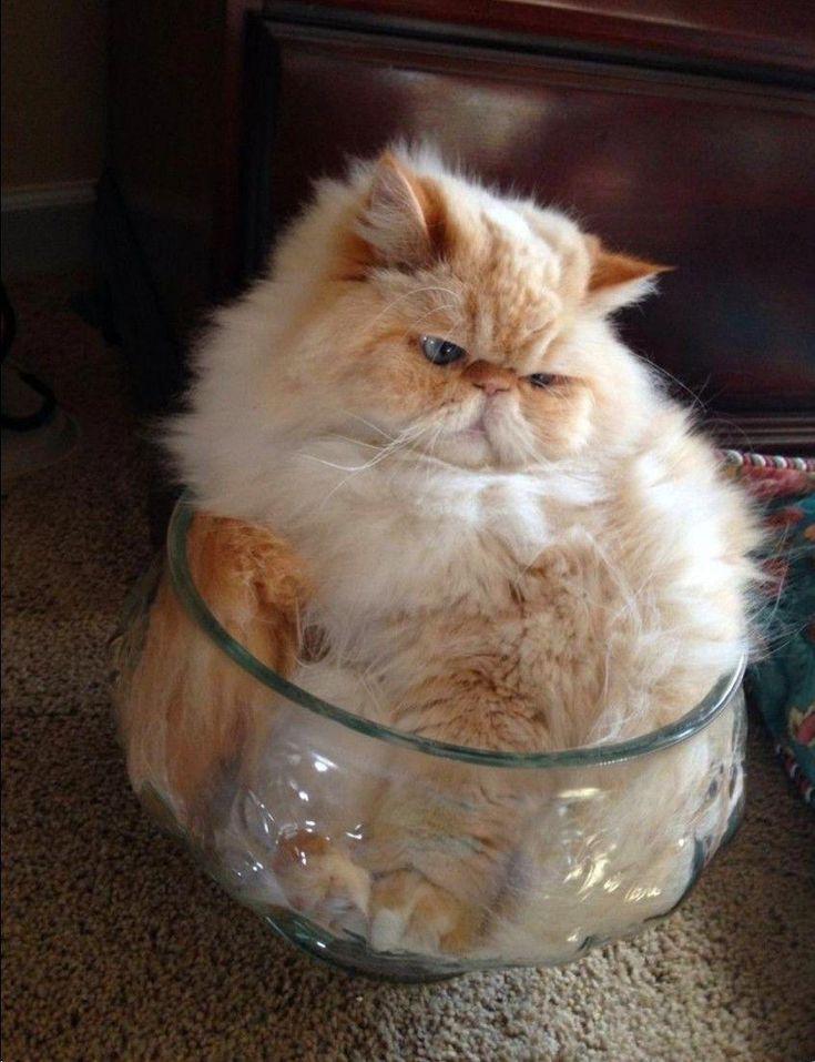 Peachy Persian Cat In Crystal Bowl Persiancatkitty