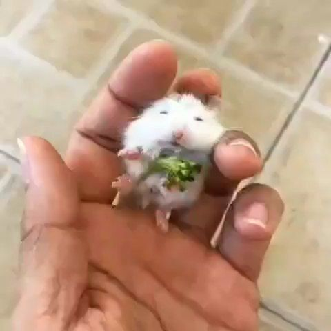 Pin By Seyed Javad Malakooty On Baby Animals Funny Hamsters Cute Animals Cute Hamsters