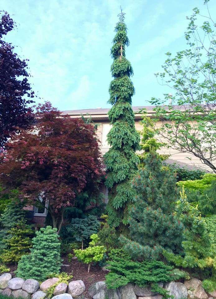 best 25  dwarf evergreen trees ideas on pinterest