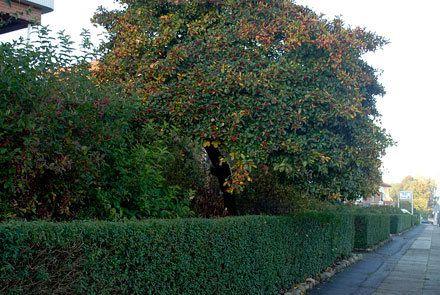 Fire træer med gode høstfarver | Haveselskabet Hanesporetjørn