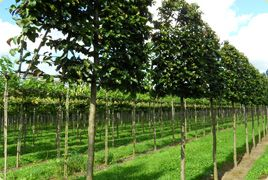Fagus Sylvatica (green beech) four years pleached tree Pleached trees - great way to raise boundaries and add screening.#trees #gardenprivacy #gardendesign #earthdesigns