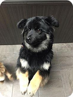 Calgary, AB - Husky/Chow Chow Mix. Meet SHORTY, a dog for adoption. http://www.adoptapet.com/pet/14781288-calgary-alberta-husky-mix