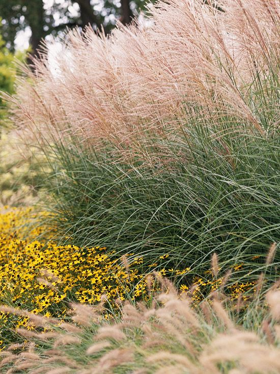 Miscanthus        Add an airy, delicate look to your landscape with graceful miscanthus. Its arching foliage and feathery summer plumes make it a great late-season privacy screen (it can reach 8 feet tall or more) or a soft backdrop for your favorite perennials.        Name: Miscanthus sinensis