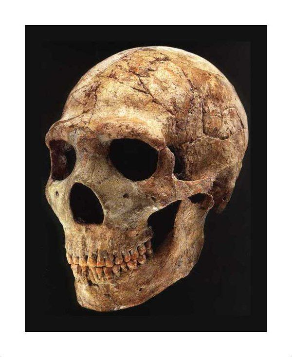 Amud 1, néanderthalien doté d'un grand volume crânien : 1736 cc. -41000 ans, Israël.