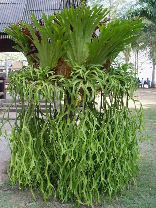 Elkhorn fern plant