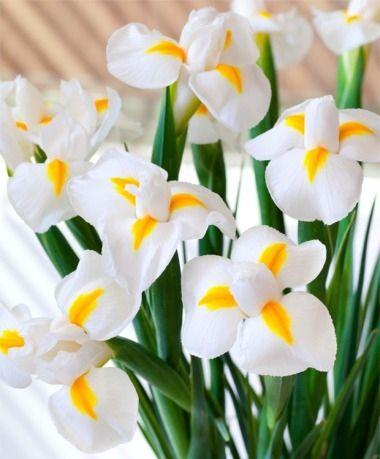 Dutch Iris White Magic - Dutch Iris - Iris - Flower Bulbs Index