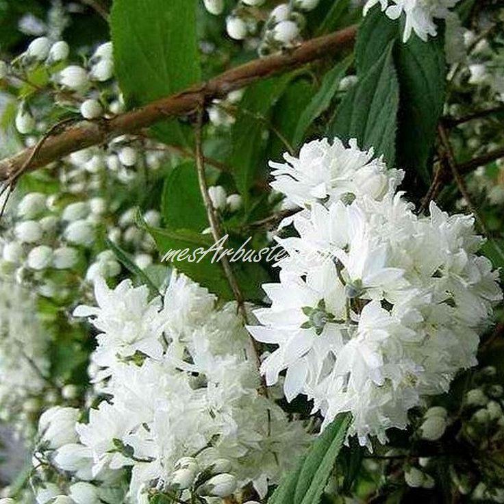 Arbuste Fleur Blanche Vivace Blanche Maison Retraite Champfleuri