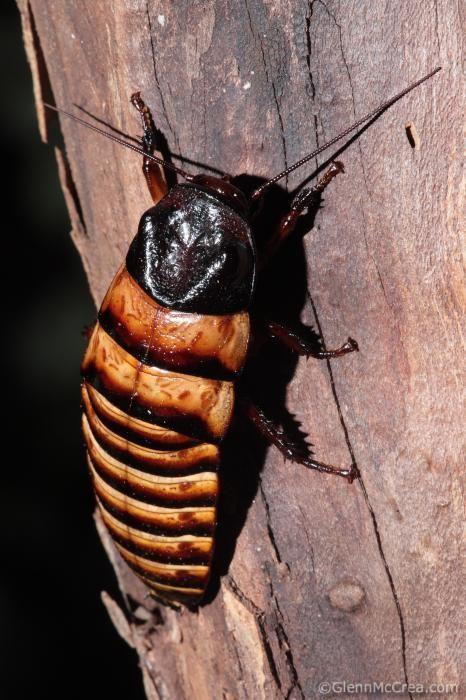 Madagascar hissing cockroach (Gromphadorhina portentosa), Berenty Reserve, Madagascar - Glenn McCrea Photography