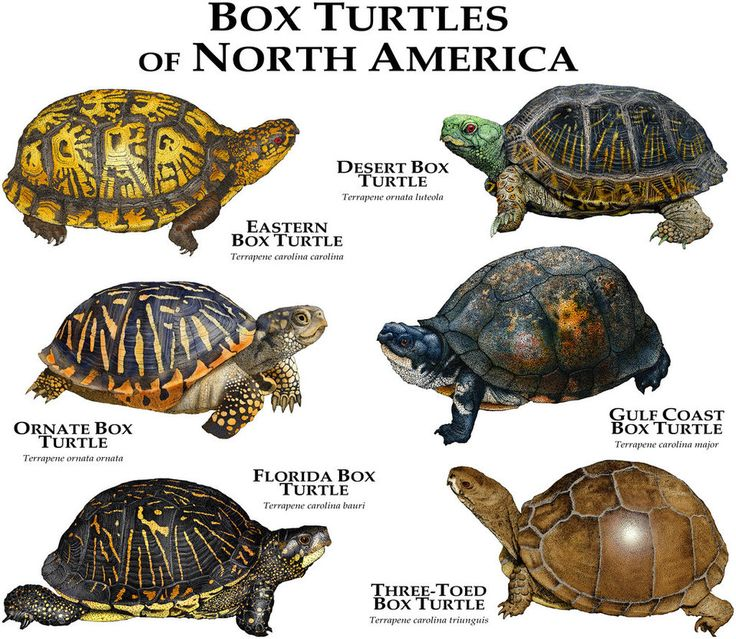 Box Turtles of North America by rogerdhall on DeviantArt