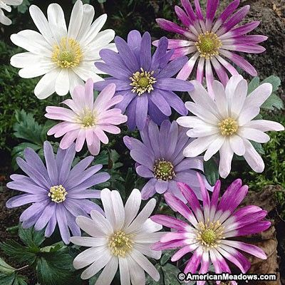 Daisy-shaped flowers in jewel colors bloom atop ferny foliage on this world-famous deer resistant wildflower native to Greece. (Anemone blanda)