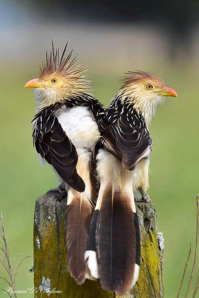 Guira Cuckoo from South America