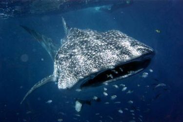 Swim with whale sharks in Western Australia, Ningaloo Marine Park. The are in the area from April to July and can grow up to 18 m long.