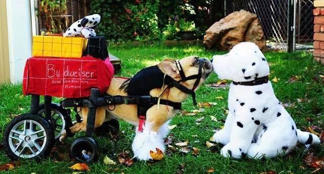 Winner of the Dog Wheelchair Halloween Costume Contest