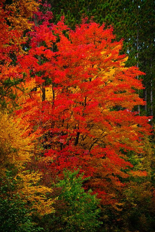 Red Maple, Blue Hills, Wisconsin