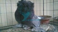 Blue Bukhara running pair pigeon for sale