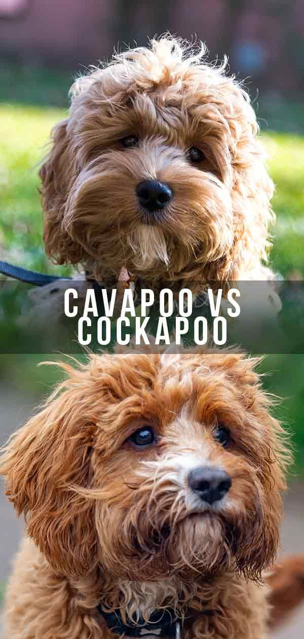Cavapoo Vs Cockapoo Which Poodle Mix Is Right For You In 2020 Cavapoo Cockapoo Puppies Cockapoo