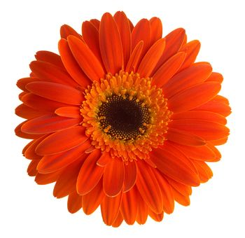 17 best images about daisys on pinterest gerber daisies Where did daisies originate