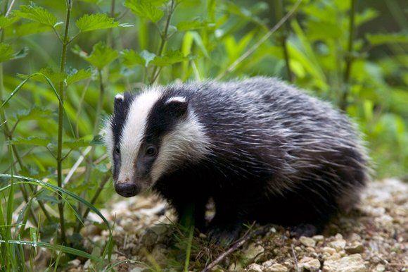 Badger - Google Search