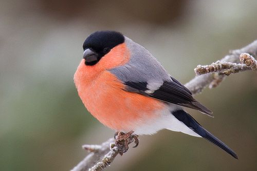 Ray Wilson's Bird & Wildlife Photography - Fringillidae : Bullfinch (Pyrrhula pyrrhula)